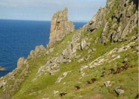 4895208-Soay_Sheep_Lundy_Island
