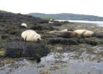 Zeehonden bij Dunvegan Castle klein