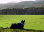 collie_on_hill
