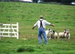 schapen bij hek