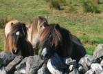 paarden bij een muurtje