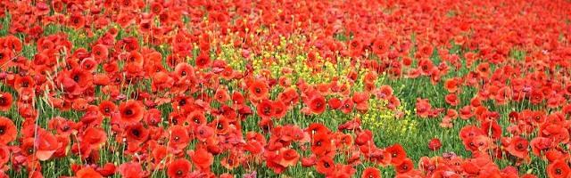 poppies_12