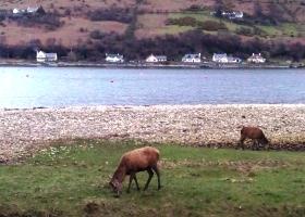 Herten in Lochranza klein