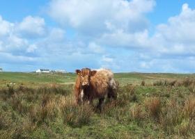 Prachtige koe op Islay