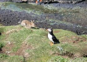 Puffin + konijn op Lunga klein