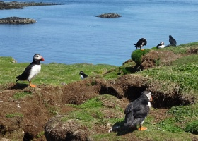 Puffins op Lunga (12) klein