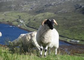 schapen-van-dgeijs-klein